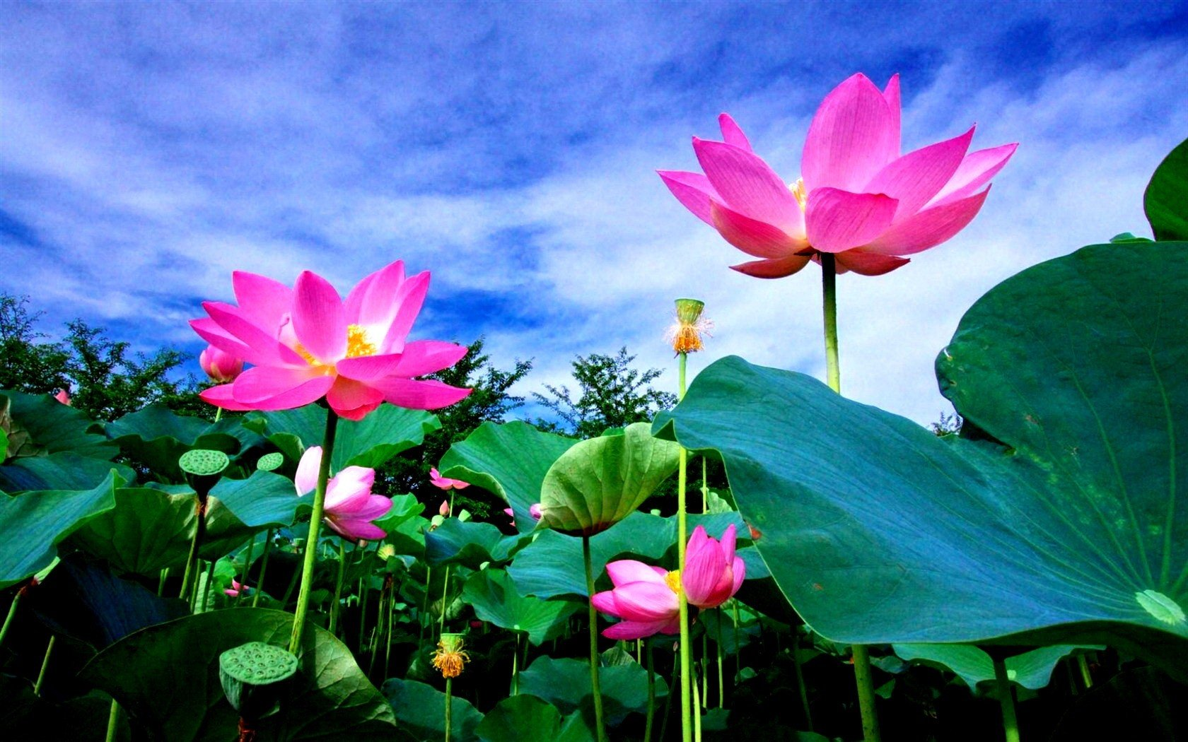 Lotus flower meaning and symbolism mythologian lotus flower in hinduism and the sacred lotus padma mightylinksfo