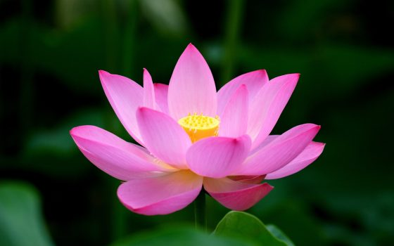 Lotus Flower Meaning and Symbolism