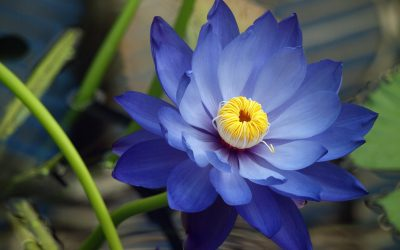 Blue Lotus Flower Meaning and Symbolism