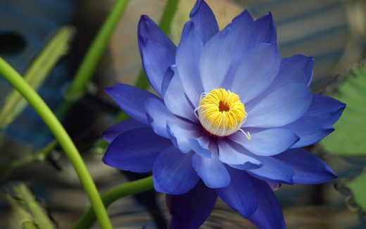 Blue Lotus Flower: Meaning and Symbolism