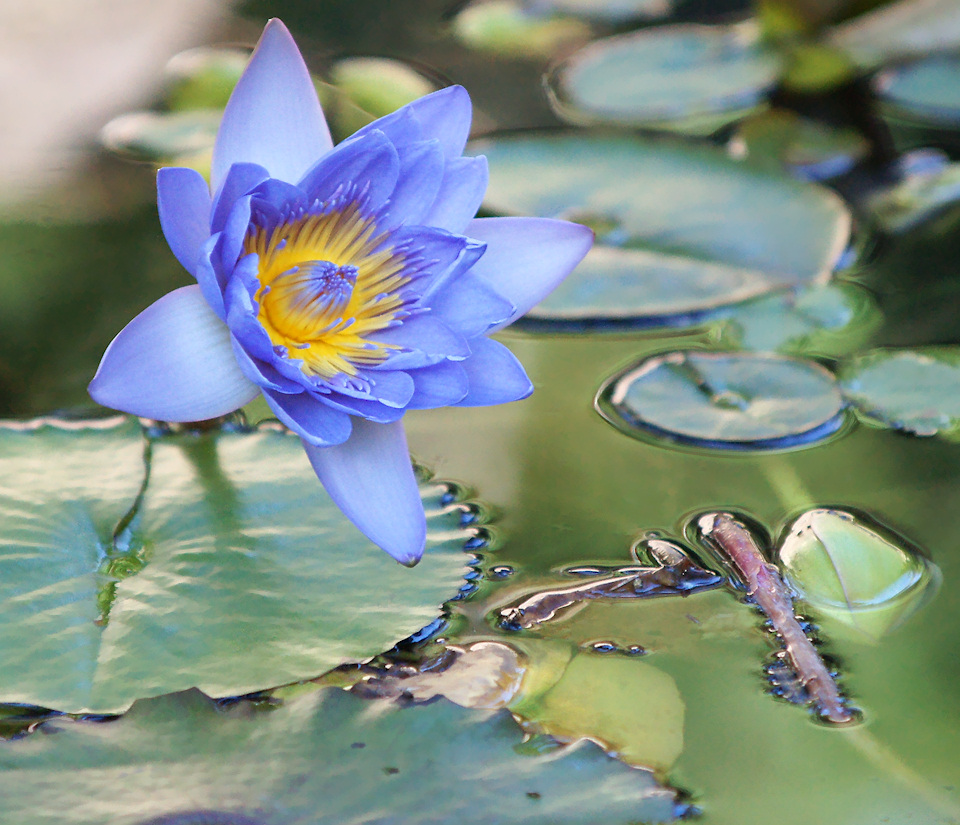 Blue lotus flower meaning and symbolism mythologian image credit leonid dombrovsky izmirmasajfo