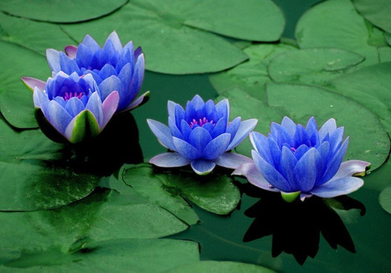 Blue Lotus Flower: Meaning and Symbolism 3