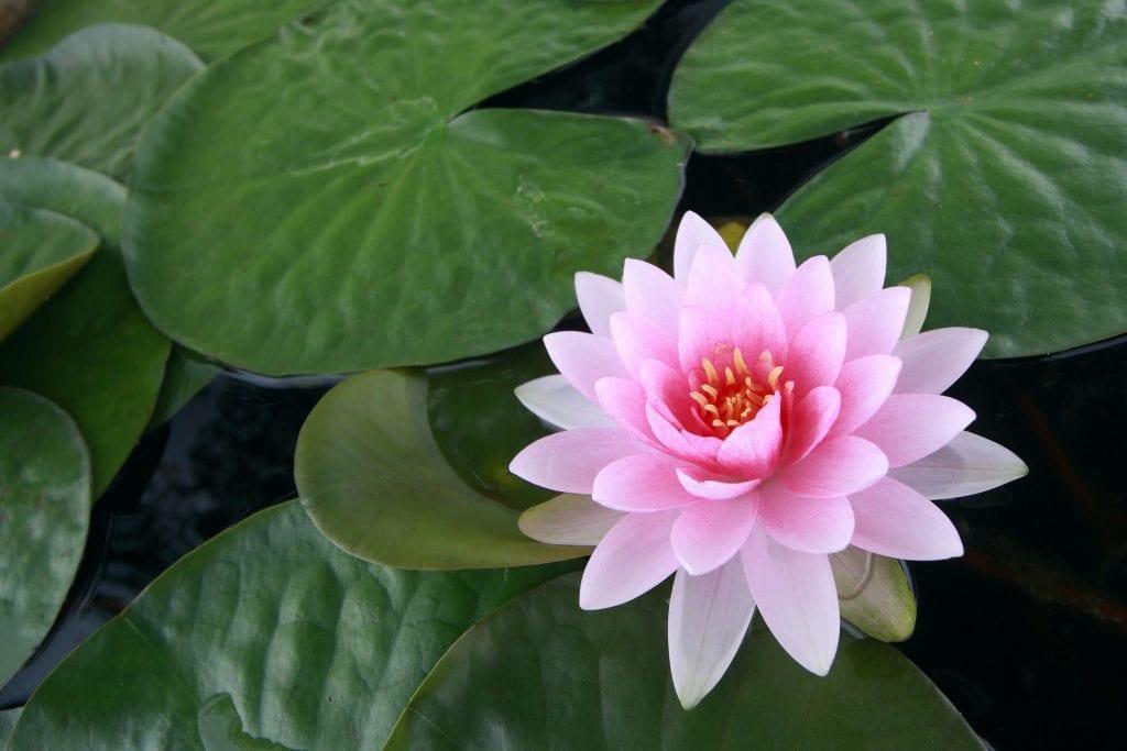 Red Lotus Flower Meaning Pink Lotus Flow...