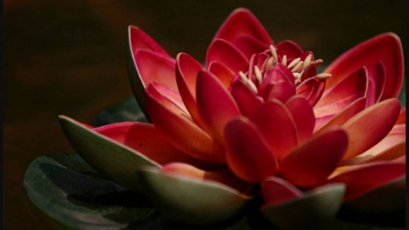 Red Lotus Flower: Meaning and Symbolism