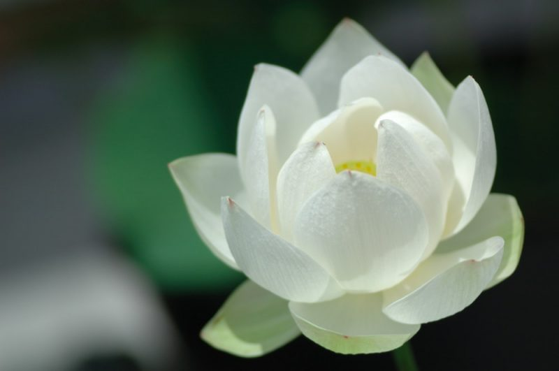 White Lotus Flower Meaning As Symbol of Hope Strength Resilience