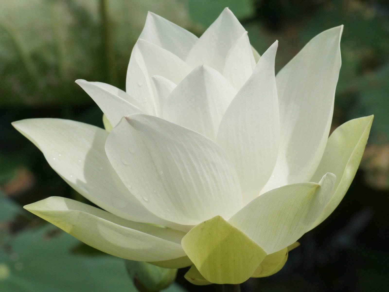 White lotus flower meaning and symbolism mythologian perhaps a large part of the reason that the white lotus was and is so revered in religious iconography is the colors symbolism as a blank canvas buycottarizona Choice Image