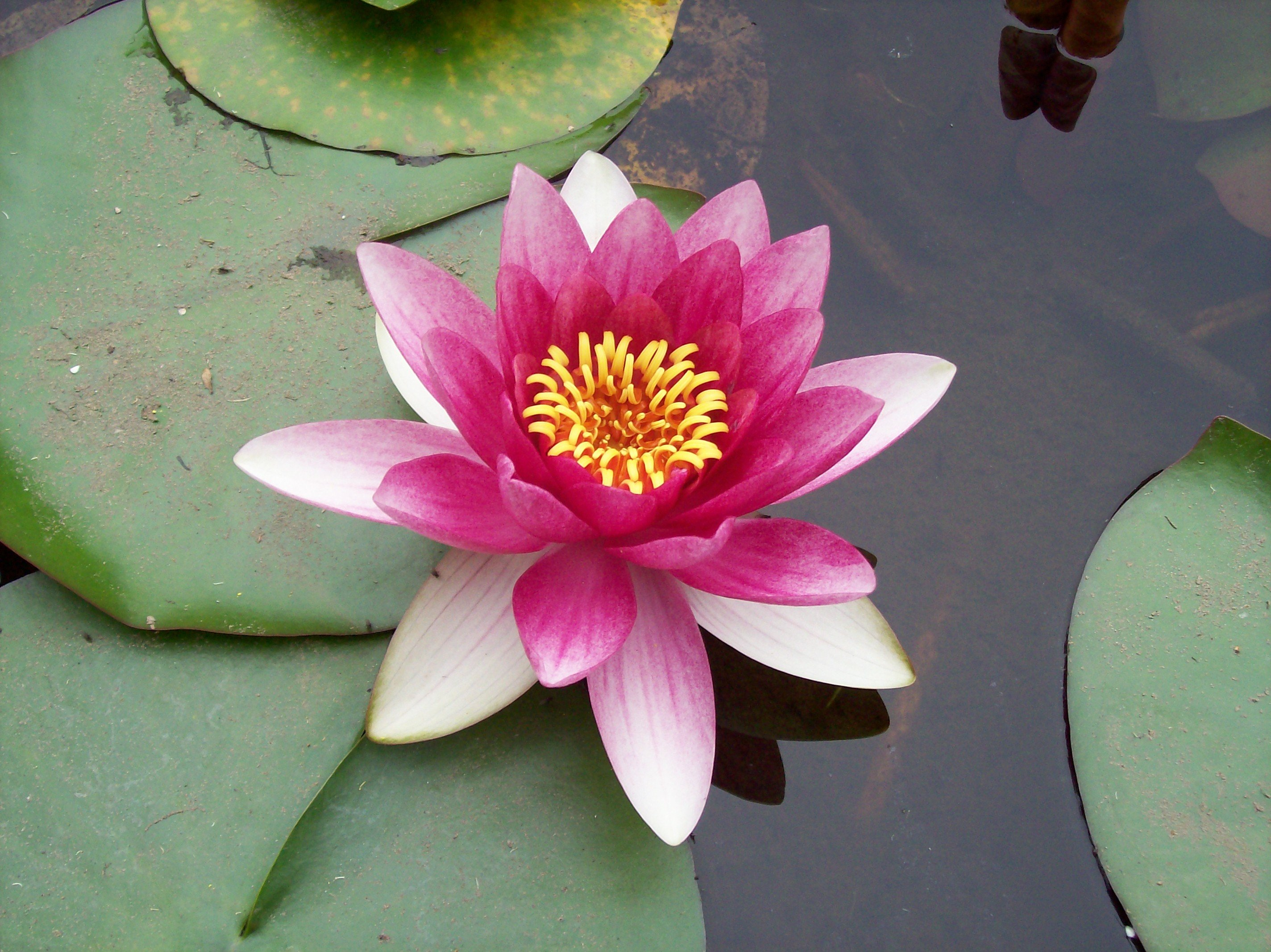 Pink Lotus Flower Meaning And Symbolism Mythologian