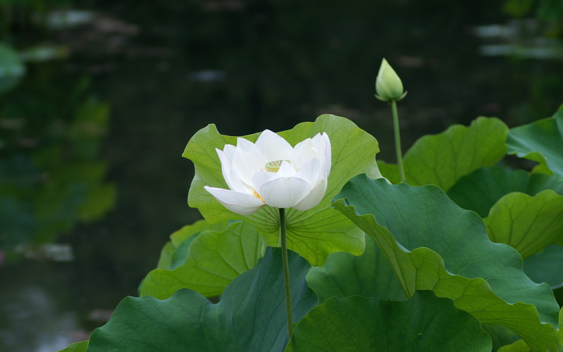 Closeup photography of white Lotus HD wallpaper ...