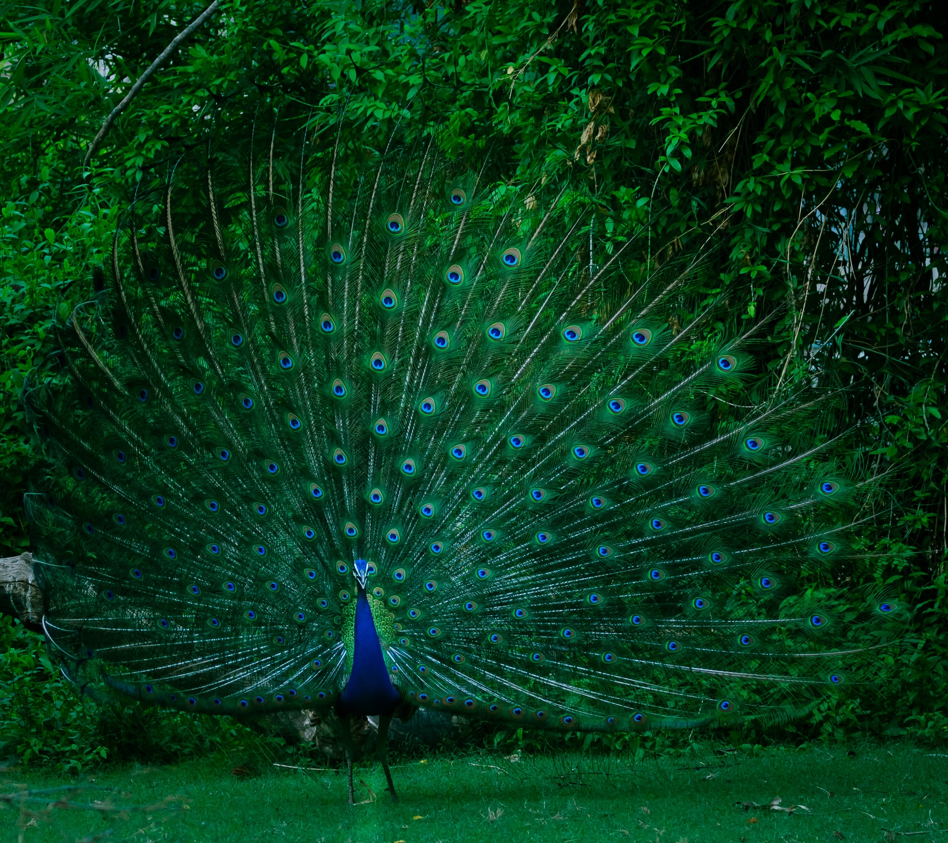 Learn About Peacock Mythology From the Greek Gods